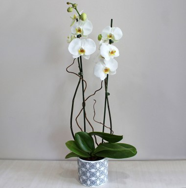 Classy White Orchid