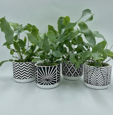 Fern in Black & White Pots