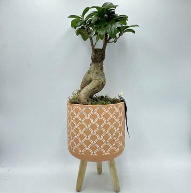 Ficus Bonsai in Pot